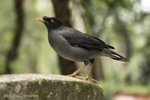 Minor-Bird-12x