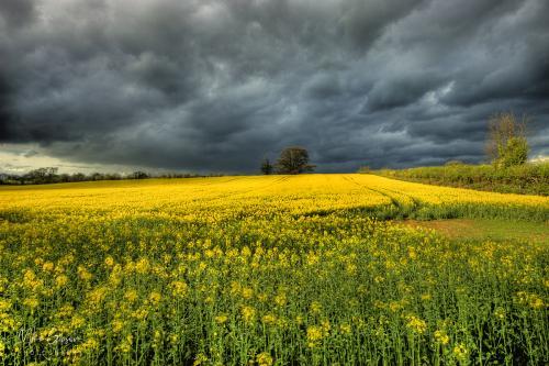 Rape-seed-stormy-sky-12x8