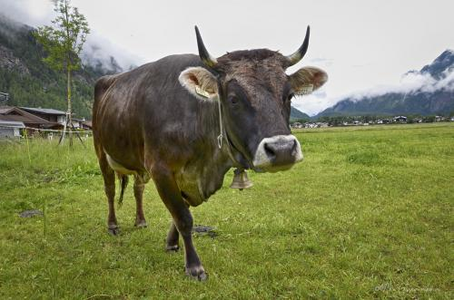 Tyrolean-cow-12x
