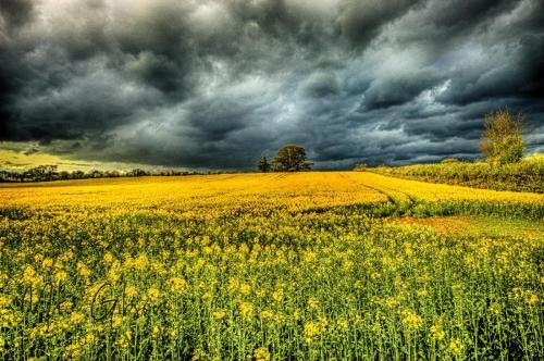 Yellow-field-dark-sky-HDR